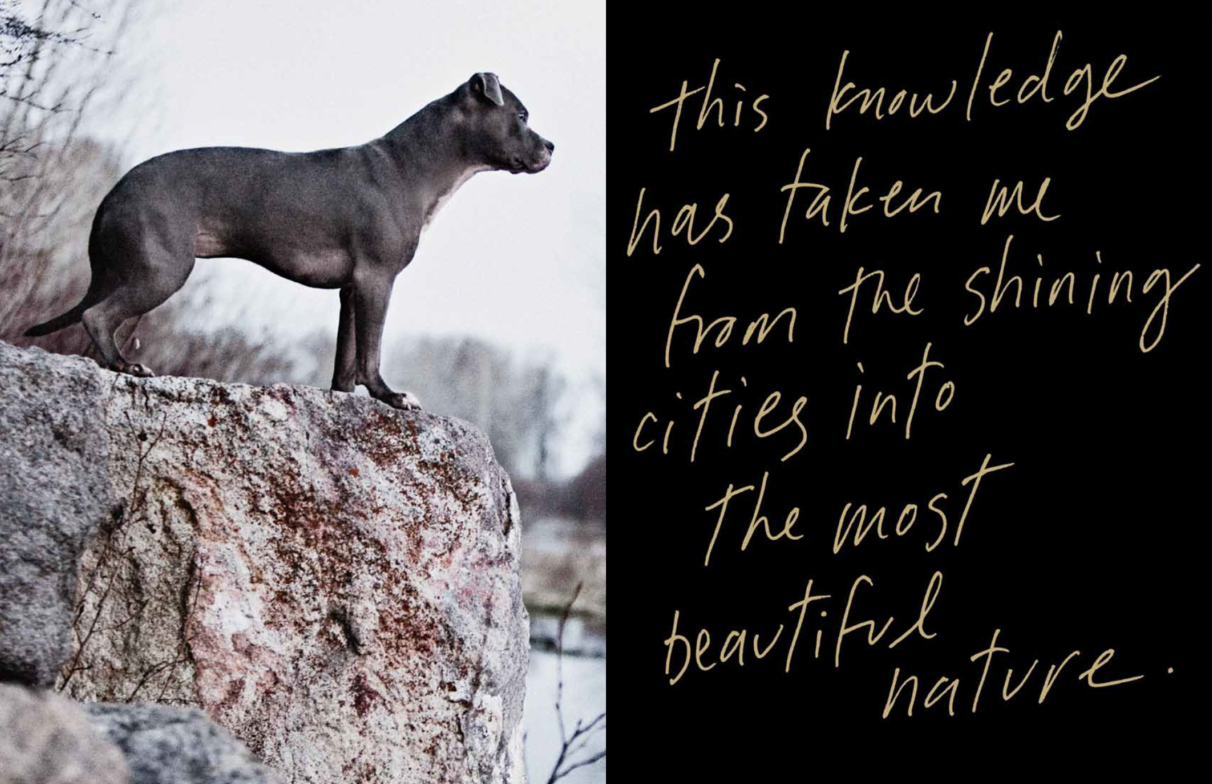 Los Angeles Dog Photography, Michael Brian, Blue Nose Pit Bull, Sun Valley Idaho, Kasha Fierce