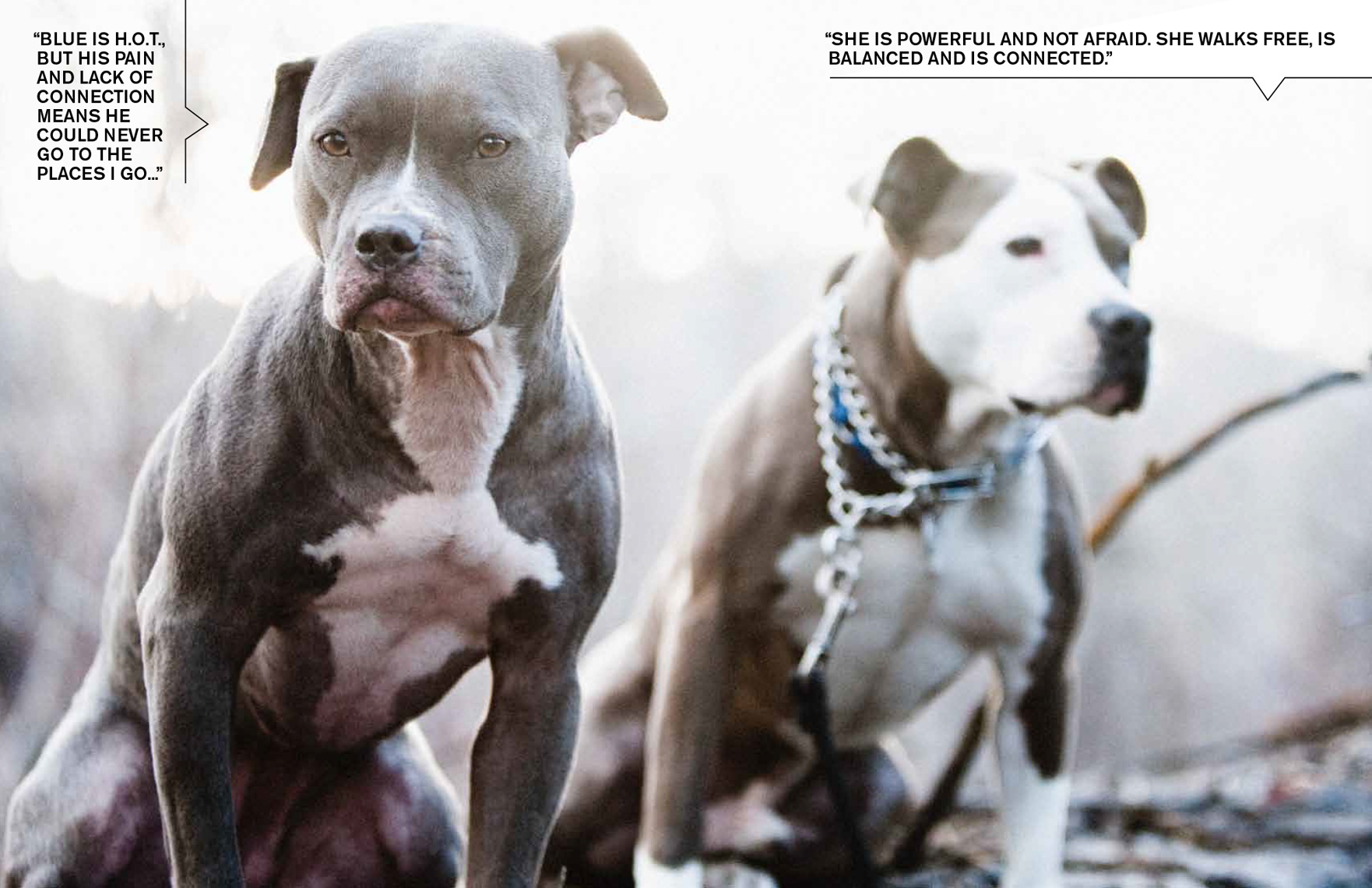 Los Angeles Dog Photography, Michael Brian, Blue Nose Pit Bull Kasha Fierce with Pit Bull rescue story, Sun Valley Idaho