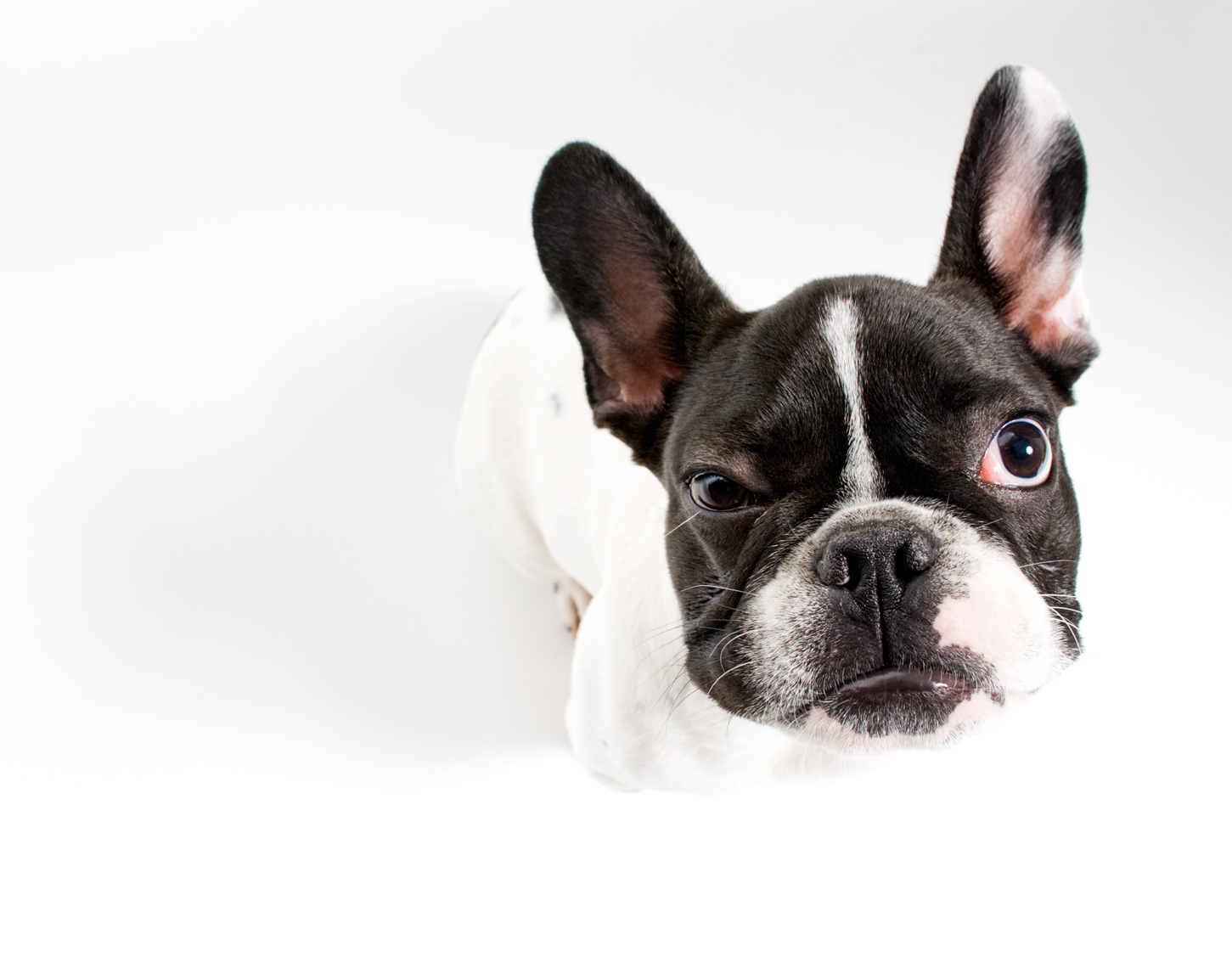 Los Angeles Dog Photography, Michael Brian, pet, cat, French Bulldog, black and white, Studio portrait