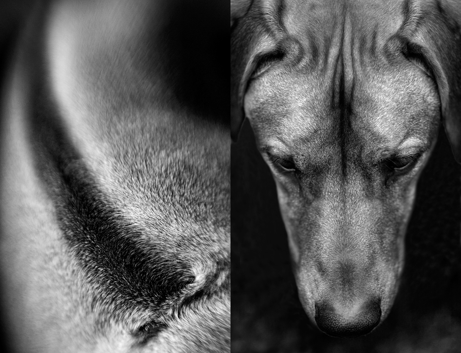 Los Angeles Dog Photography, Michael Brian, pet, cat, Rhodesian Ridgeback,  dyptych studio portrait