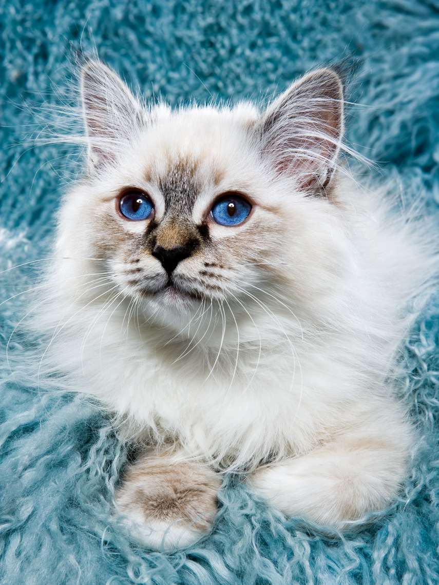Los Angeles Cat Photography, Michael Brian, pet, dog, studio portrait of exotic white kitten